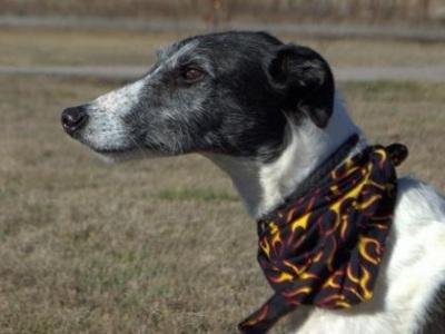 Dasher--Greyhound for Adoption