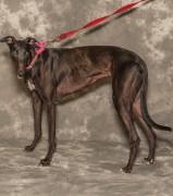 Noir--greyhound for adoption