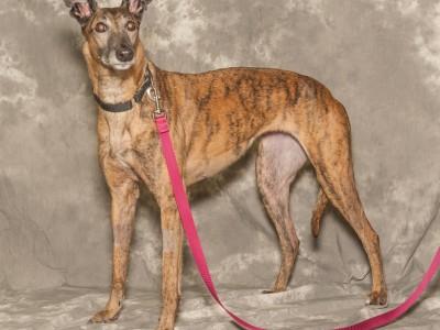 Linda--greyhound for adoption