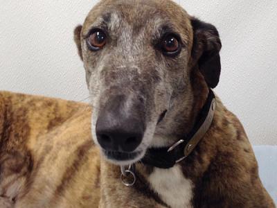 Kaci - Greyhound for Adoption