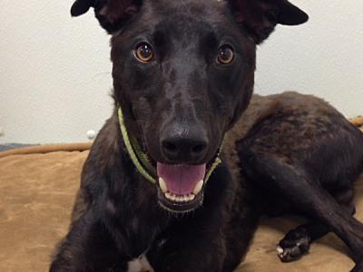 Pirate - Greyhound for Adoption