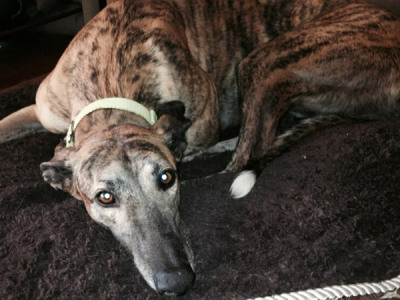 Rico Greyhound for Adoption