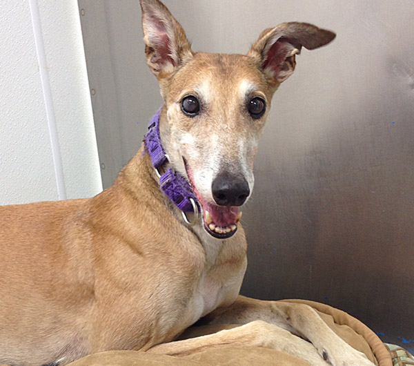 Roma - Greyhound for Adoption