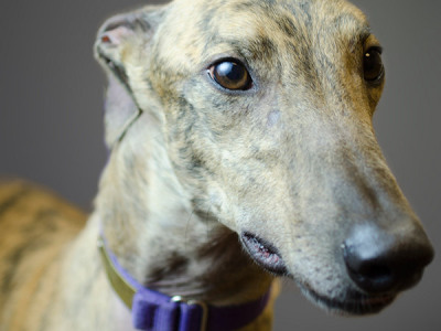 Tyler - Greyhound for Adoption