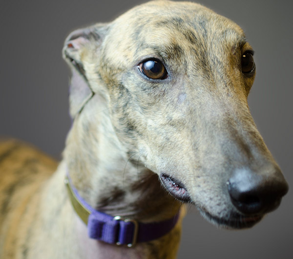 Tyler - Greyhound for Adoption
