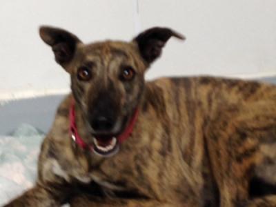 Vivi Greyhound for Adoption